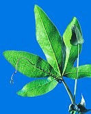 Leaf and tendril centre, curly of a passion flower Passiflora caerulea plant. Passion flowers are climbing plants. The tendrils wrap around objects, s...