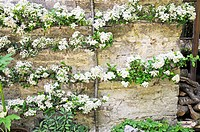 Firethorn Pyracantha sp. flowers trained along the wall of a house in Cardinham, Cornwall, UK. Photographed in April.