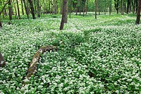 Wild garlic Allium ursinum in woodland. Also called ramsons and wood garlic, this plant, which is related to the chives, grows in deciduous woodlands ...