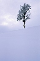 Solitary tree in the snow Dolomites Italy