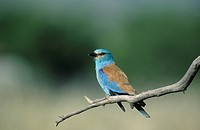 European roller sitting on a perch