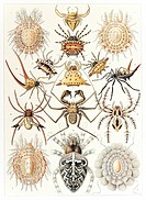 Arachnid organisms. Historical artwork showing various organisms in the class Arachnida. This is the 66th plate from Ernst Haeckel´s Art Forms in Natu...