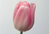 Close_up of tulip