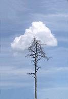 Tree, perished, sky, cloud