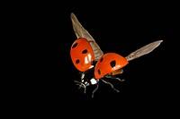 Ladybird (Coccinellia septempunctata)
