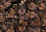 MEDITERRANEAN HORSESHOE BATS. Rhinolophus euryale. Greece.