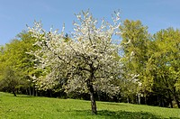 Blooming cherry tree near Bad Feilnbach, Upper Bavaria, Bavaria, Germany