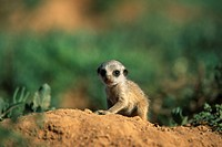 SURICATE or MEERKAT young. Suricata suricatta. Addo Elephant National Park. South Africa