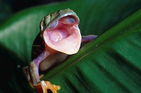 RED_EYED TREEFROG yawning to shed skin. Eyes visible inside mouth. Agalychnis callidryas