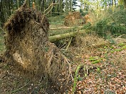 Waldschäden nach Unwetter / damages in forest after thunder_storm