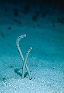 GARDEN EELS in sand burrows. Heteroconger hassi. Tonga. South Pacific Ocean