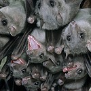 EGYPTIAN FRUIT BAT group roosting. Rousettus aegypticus. Transvaal. South Africa