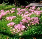 autumn crocuses / Colchicum autumnale