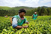 Tea plantation and harvest in Nyunguwe, Rwanda, Africa