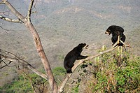 Encounter between two spectacled bears (Tremarctos ornatus) climbing in tree, Chaparri Ecological Reserve, Peru, South America