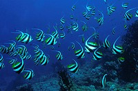 A school of schooling bannerfish. Heniochus diphreutes. New Britain Island. Papua New Guinea