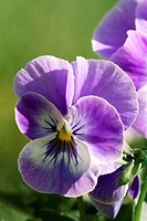 pansy violet _ blossom