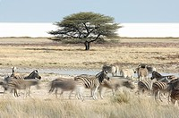 High angle view of Zebra Equus quagga herd on the move. Etosha National Park, Namibia.