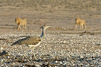 Kori bustard Ardeotis kori and lion Panthera leo in background. Etosha National Park, Namibia.