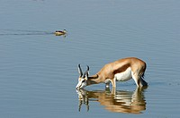 Springbok Antidorcas marsupialus drinking in waterhole with teal in background. Etosha National Park, Namibia.