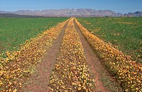 Track through flowers and fields. Namaqualand District, Eastern Cape Province, South Africa