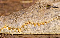 Close up of a Nile crocodile Crocodylus niloticus showing its snout and razor sharp teeth. St Lucia, KwaZulu_Natal Province, South Africa