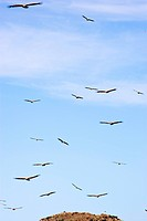 Large Group of Cape Vultures Gyps coprotheres Flying