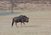 Blue Wildebeest Connochaetes taurinus, Mata Mata, Kgalagadi Transfrontier Park, South Africa