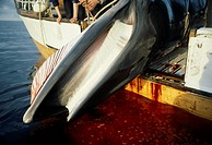 MINKE WHALE dead being hauled onto Norwegian Whaler in Barents Sea. Balaenoptera acutorostrata