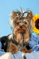 Yorkshire Terrier _ sitting in jeans