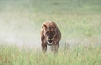 Lone lioness Panthera leo walking in grassland. Okavango Delta, Botswana, Africa