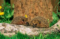 two hedgehogs on tree trunk