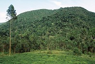 BWINDI IMPENETRABLE FOREST N.P. with tea plantations encroaching upon the rainforest. Uganda