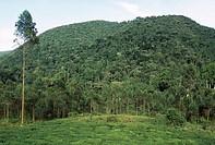 BWINDI IMPENETRABLE FOREST N.P. with tea plantations encroaching upon the rainforest. Uganda