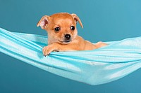 Russian Toy Terrier dog _ puppy lying in hammock