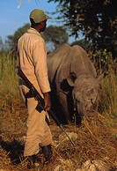 BLACK RHINOCEROS with armed guard. Diceros bicornis. Twenty_four hour guard against poachers. Zimbabwe