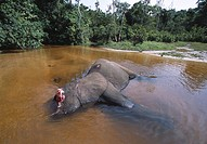 AFRICAN FOREST ELEPHANT Loxodonta africana cyclotis killed by poachers for tusks. Dzanga. Ndoki National Park, Central African Republic