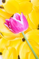Purple Tulip on Yellow Tulip Petals