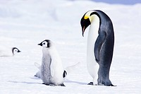 Emperor Penguin and Chick on Ice