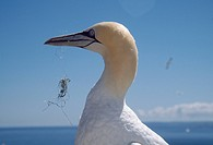 GANNET Sula bassana with fishing line caught in bill