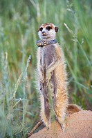 MEERKAT Suricatta suricata with radio collar, Kalahari Meerkat Project, Van Zylsrus, Northern Cape, South Africa