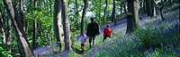 Father & children enjoying Bluebell wood Hyacinthoides non_scripta Prestatyn Denbighshire Wales UK
