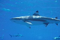 Black Tip Shirk