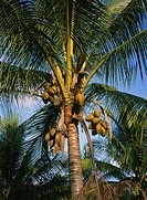 Coconut tree. Queesland, Australia