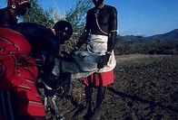 Samburu warrior drawing blood from cow for a meal, Northern Kenya
