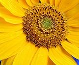 Sunflower / (Helianthus annuus)
