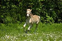 11 days old Haflinger foal rennt auf der Weide