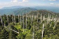 Dead trees on Clingman's Dome, Great Smokey Mountains National Park, North Carolina and Tennessee, USA