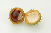 Horse Chestnut fruit / (Aesculus hippocastanum)