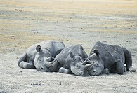 Three rhinoceros sleeping